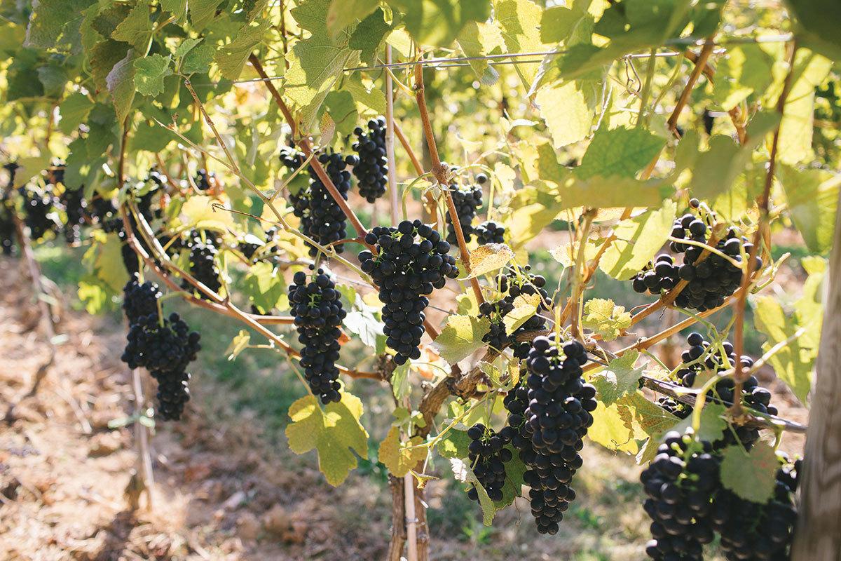 Big Cork Grape Vine