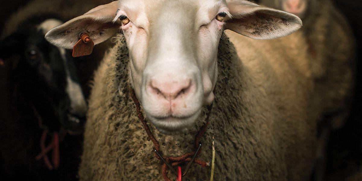Cheese sheep