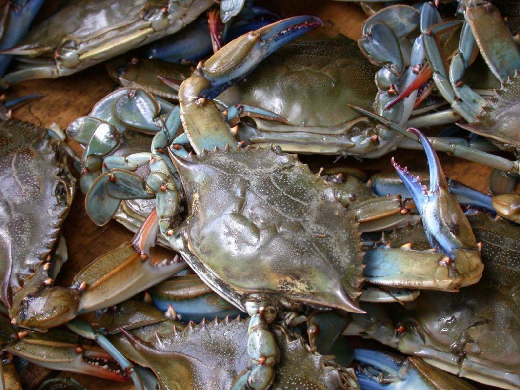 Blue crab on market in Piraeus - Callinectes sapidus Rathbun 20020819-317