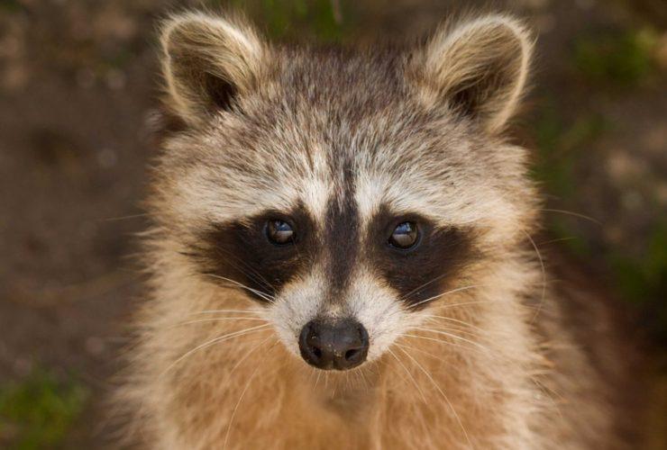 Camden Yards Raccoon