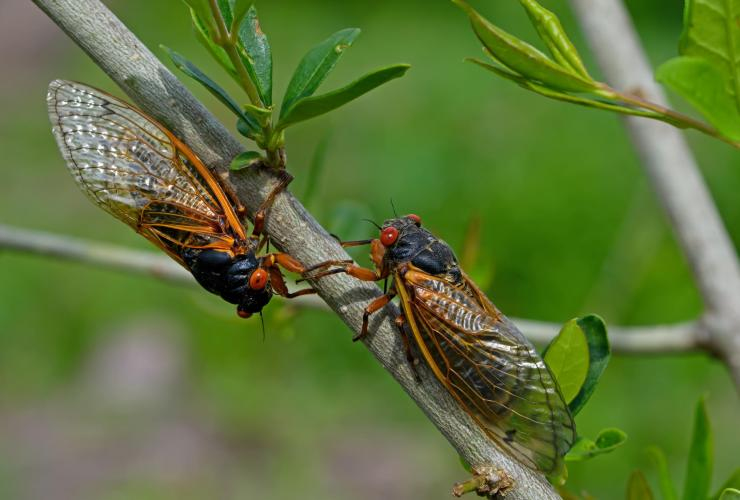 Two Brood X periodical cicadas on a tree branch